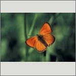 Bild 65 zum Bildarchiv Schmetterlinge
