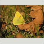 Bild 61 zum Bildarchiv Schmetterlinge
