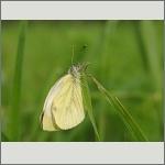 Bild 64 zum Bildarchiv Schmetterlinge