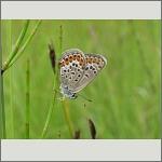 Bild 73 zum Bildarchiv Schmetterlinge