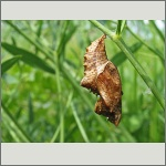 Bild 75 zum Bildarchiv Schmetterlinge