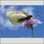 Bild 69 zum Bildarchiv Schmetterlinge