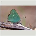 Bild 71 zum Bildarchiv Schmetterlinge