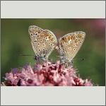 Bild 72 zum Bildarchiv Schmetterlinge