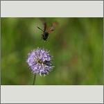 Bild 70 zum Bildarchiv Schmetterlinge