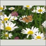 Bild 58 zum Bildarchiv Schmetterlinge