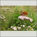 Bild 55 zum Bildarchiv Schmetterlinge