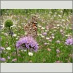 Bild 63 zum Bildarchiv Schmetterlinge