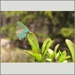 Bild 50 zum Bildarchiv Schmetterlinge