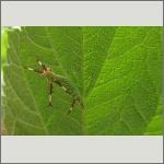 Bild 56 zum Bildarchiv Schmetterlinge