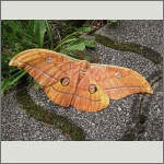 Bild 46 zum Bildarchiv Schmetterlinge