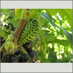 Bild 47 zum Bildarchiv Schmetterlinge
