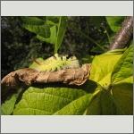 Bild 54 zum Bildarchiv Schmetterlinge