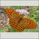 Bild 41 zum Bildarchiv Schmetterlinge
