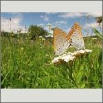 Bild 37 zum Bildarchiv Schmetterlinge