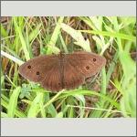 Bild 39 zum Bildarchiv Schmetterlinge