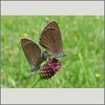 Bild 40 zum Bildarchiv Schmetterlinge