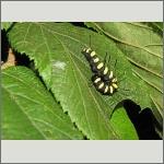 Bild 43 zum Bildarchiv Schmetterlinge