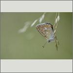 Bild 38 zum Bildarchiv Schmetterlinge