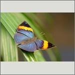 Bild 29 zum Bildarchiv Schmetterlinge