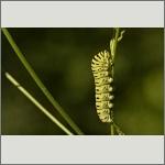 Bild 32 zum Bildarchiv Schmetterlinge