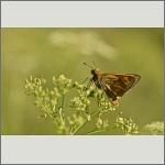 Bild 31 zum Bildarchiv Schmetterlinge