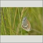 Bild 33 zum Bildarchiv Schmetterlinge