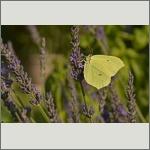 Bild 24 zum Bildarchiv Schmetterlinge