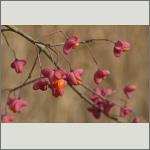 Bild 12 zum Bildarchiv Früchte/Samen