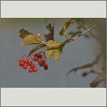 Bild 10 zum Bildarchiv Früchte/Samen
