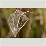 Bild 9 zum Bildarchiv Früchte/Samen