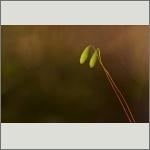 Bild 4 zum Bildarchiv Früchte/Samen