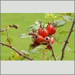 Bild 2 zum Bildarchiv Früchte/Samen