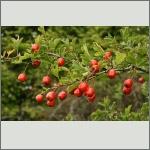 Bild 1 zum Bildarchiv Früchte/Samen