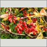 Bild 5 zum Bildarchiv Früchte/Samen