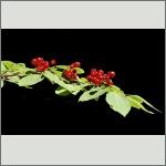Bild 3 zum Bildarchiv Früchte/Samen
