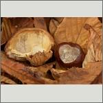 Bild 16 zum Bildarchiv Früchte/Samen