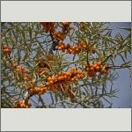 Bild 15 zum Bildarchiv Früchte/Samen