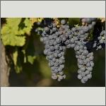Bild 14 zum Bildarchiv Früchte/Samen