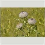 Bild 32 zum Bildarchiv Sonstige Pflanzen