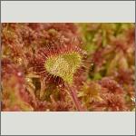 Bild 30 zum Bildarchiv Sonstige Pflanzen