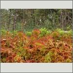 Bild 26 zum Bildarchiv Sonstige Pflanzen