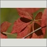 Bild 25 zum Bildarchiv Sonstige Pflanzen