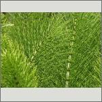Bild 14 zum Bildarchiv Sonstige Pflanzen