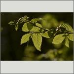 Bild 12 zum Bildarchiv Sonstige Pflanzen