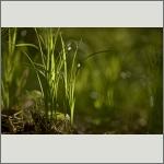 Bild 15 zum Bildarchiv Sonstige Pflanzen