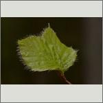 Bild 13 zum Bildarchiv Sonstige Pflanzen