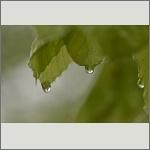Bild 16 zum Bildarchiv Sonstige Pflanzen