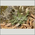 Bild 18 zum Bildarchiv Sonstige Pflanzen