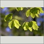 Bild 7 zum Bildarchiv Sonstige Pflanzen